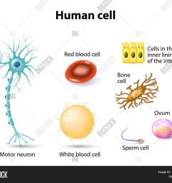human anatomy motor neuron red blood cell and white blood cell bone cell sperm cell and ovum cells in the inner lining of the intestine set [ 1500 x 1284 Pixel ]