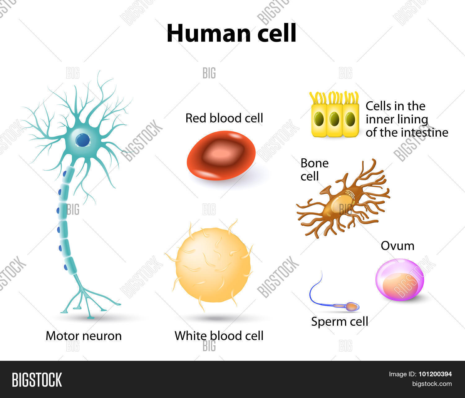 hight resolution of human anatomy motor neuron red blood cell and white blood cell bone cell sperm cell and ovum cells in the inner lining of the intestine set