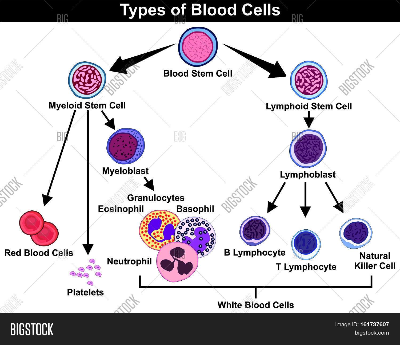 Types Blood Cells Stem Image Amp Photo Free Trial