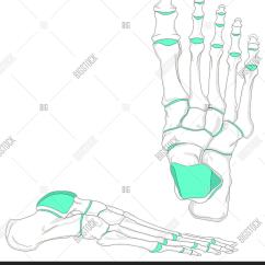 Joints Of The Foot Diagram Network Design Human Bones Image Photo Free Trial Bigstock Anatomy In Anatomical Position Front And Lateral View With All