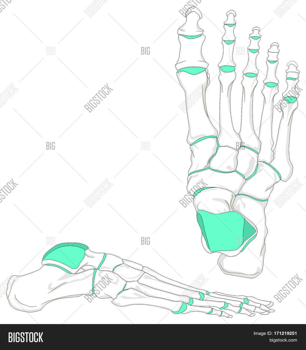 medium resolution of human foot bones anatomy diagram in anatomical position front and lateral view with all bones and