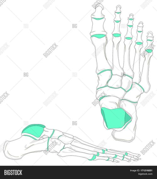 small resolution of human foot bones anatomy diagram in anatomical position front and lateral view with all bones and