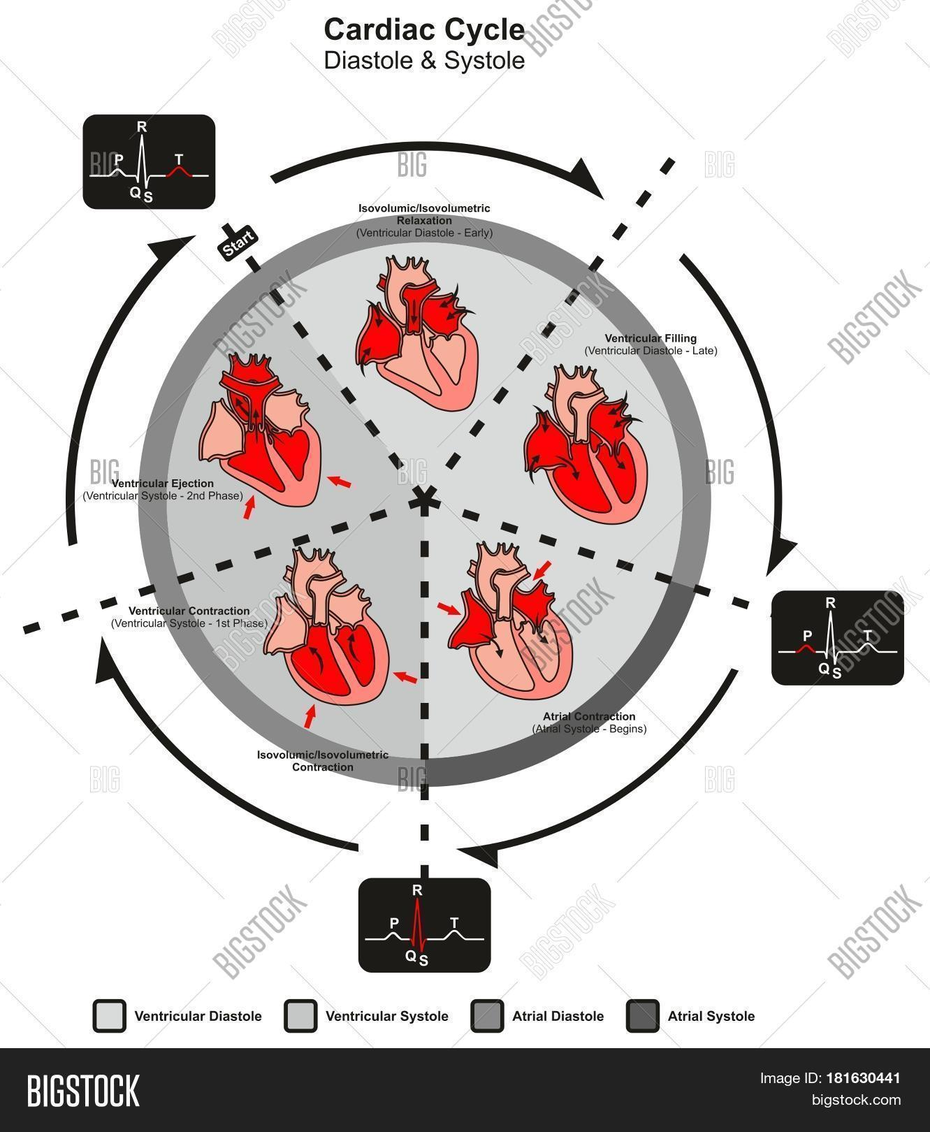 Cardiac Cycle Diastole Image Amp Photo Free Trial