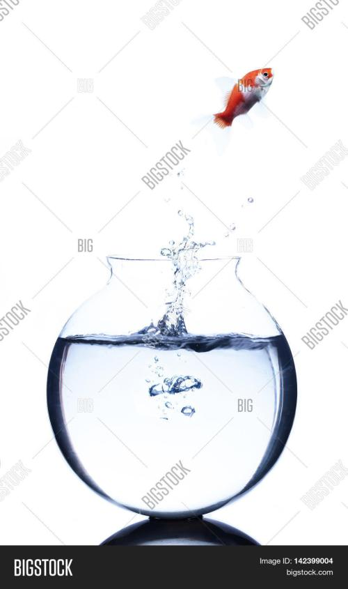 small resolution of goldfish jumping from a bowl isolated on white background
