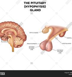 pituitary gland hypophysis detailed anatomy of human brain  [ 1500 x 1358 Pixel ]