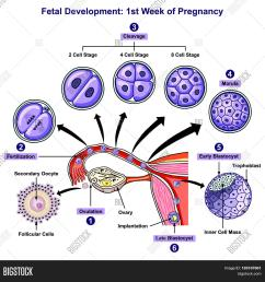fetal development first week of pregnancy infographic diagram of female reproductive system with all stages including [ 1500 x 1557 Pixel ]
