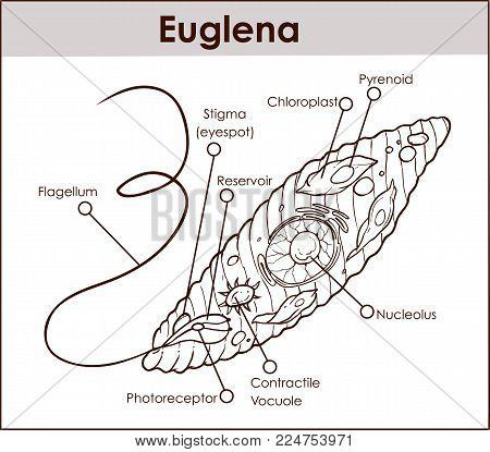 euglena cell diagram with labels li ion laptop battery pinout vector cross photo free trial bigstock section representative protists euglenoid plant like and animal microscopic creature