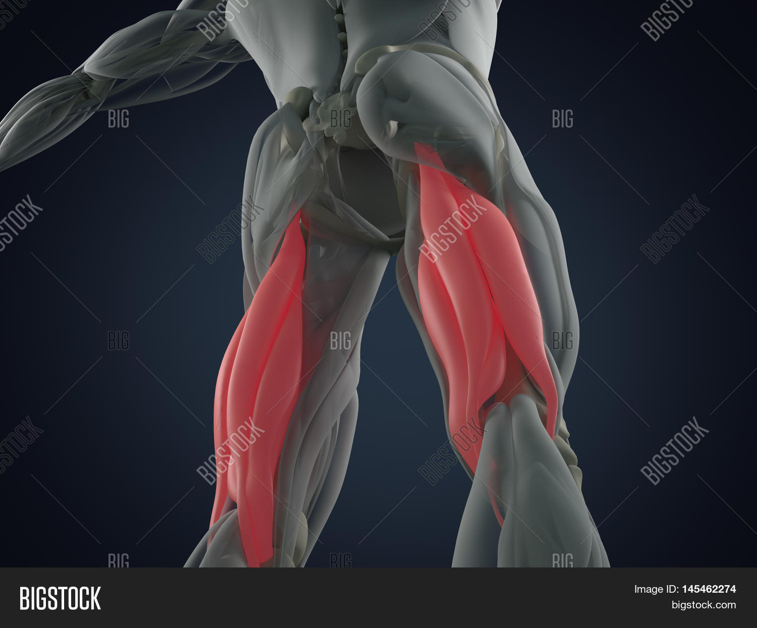 Hamstring Muscle Group Image & Photo (Free Trial) | Bigstock