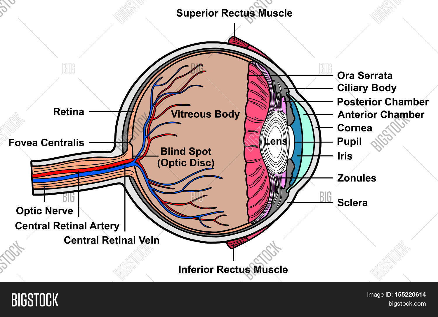 hight resolution of human eye cross section anatomy with all parts anatomical structure artery vein nerve