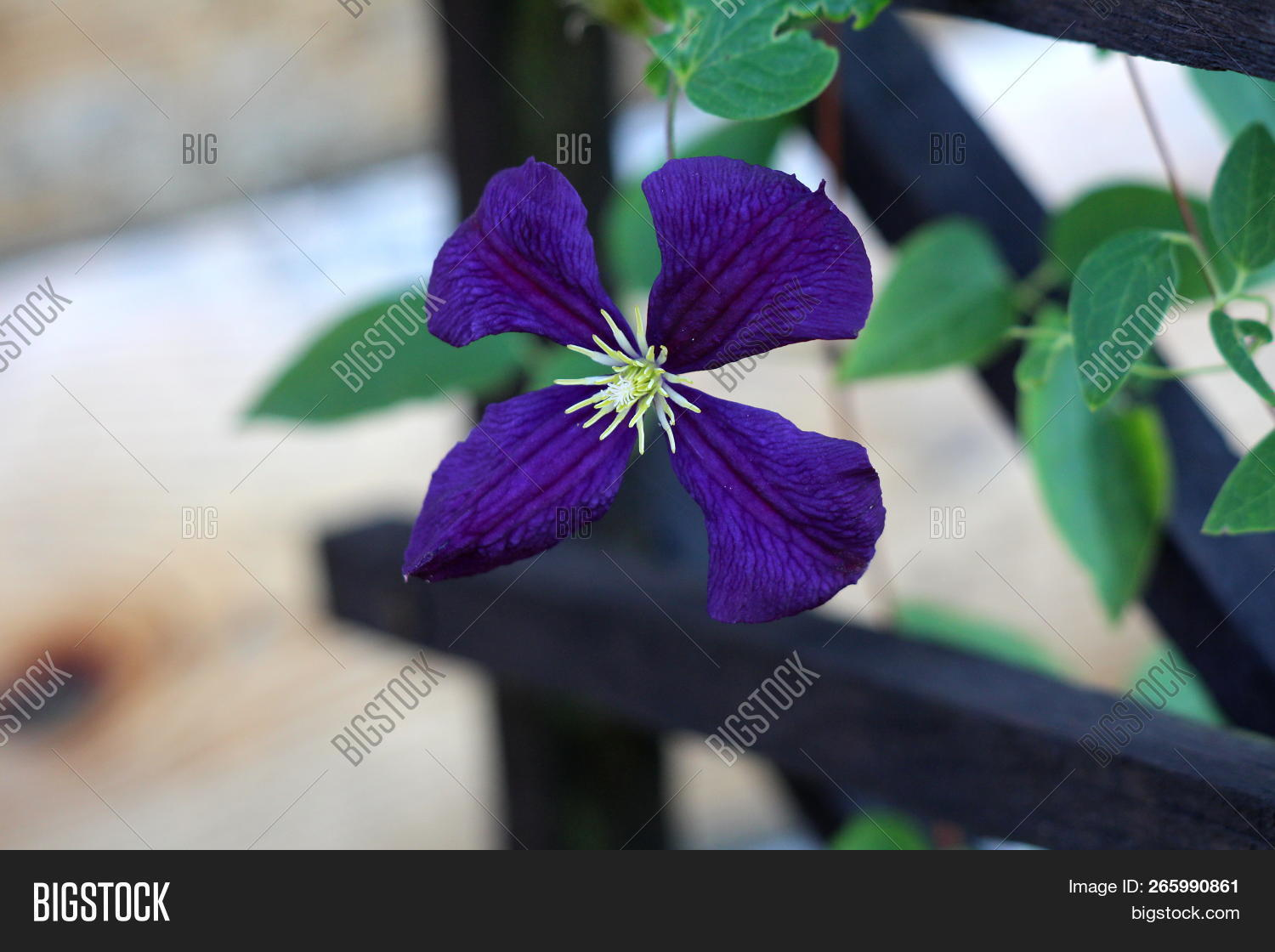 clematis easy care image