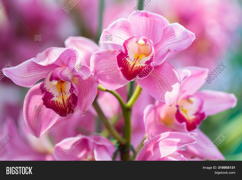 Cymbidium Orchid. Image & Photo (Free Trial)   Bigstock