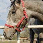 Grey Horse Head Close Image Photo Free Trial Bigstock