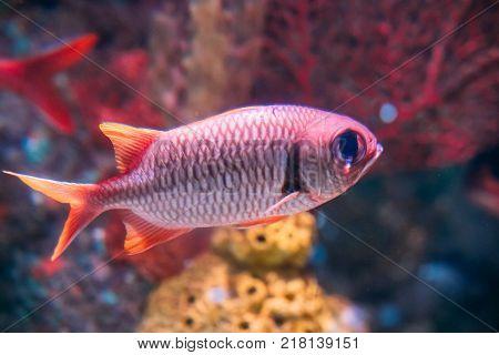 big eye squirrelfish images