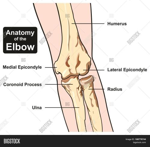 small resolution of anatomy of the elbow joint diagram including all bones humerus radius ulna for medical science education