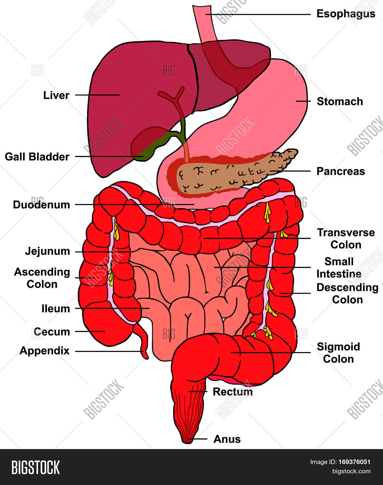hight resolution of digestive system of human body anatomy with all parts esophagus stomach pancreas liver gall bladder duodenum