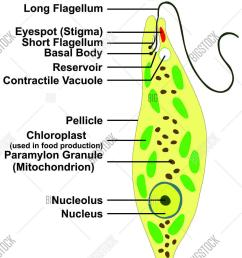 euglena cross section diagram representative protists euglenoid plant like and animal like microscopic creature all [ 1044 x 1620 Pixel ]