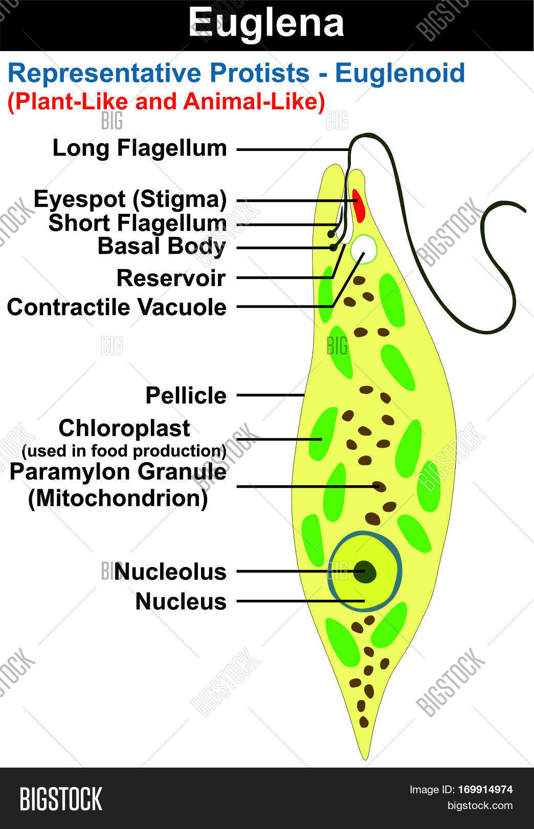 hight resolution of euglena cross section diagram representative protists euglenoid plant like and animal like microscopic creature all