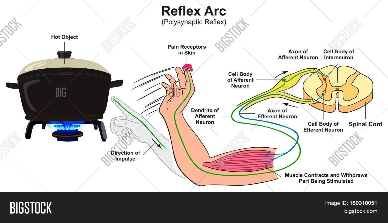 diagram of a simple reflex arc 1999 s10 stereo wiring infographic image and photo bigstock