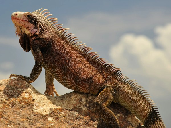 Puerto Rico Plans To Slaughter Millions of Iguanas And