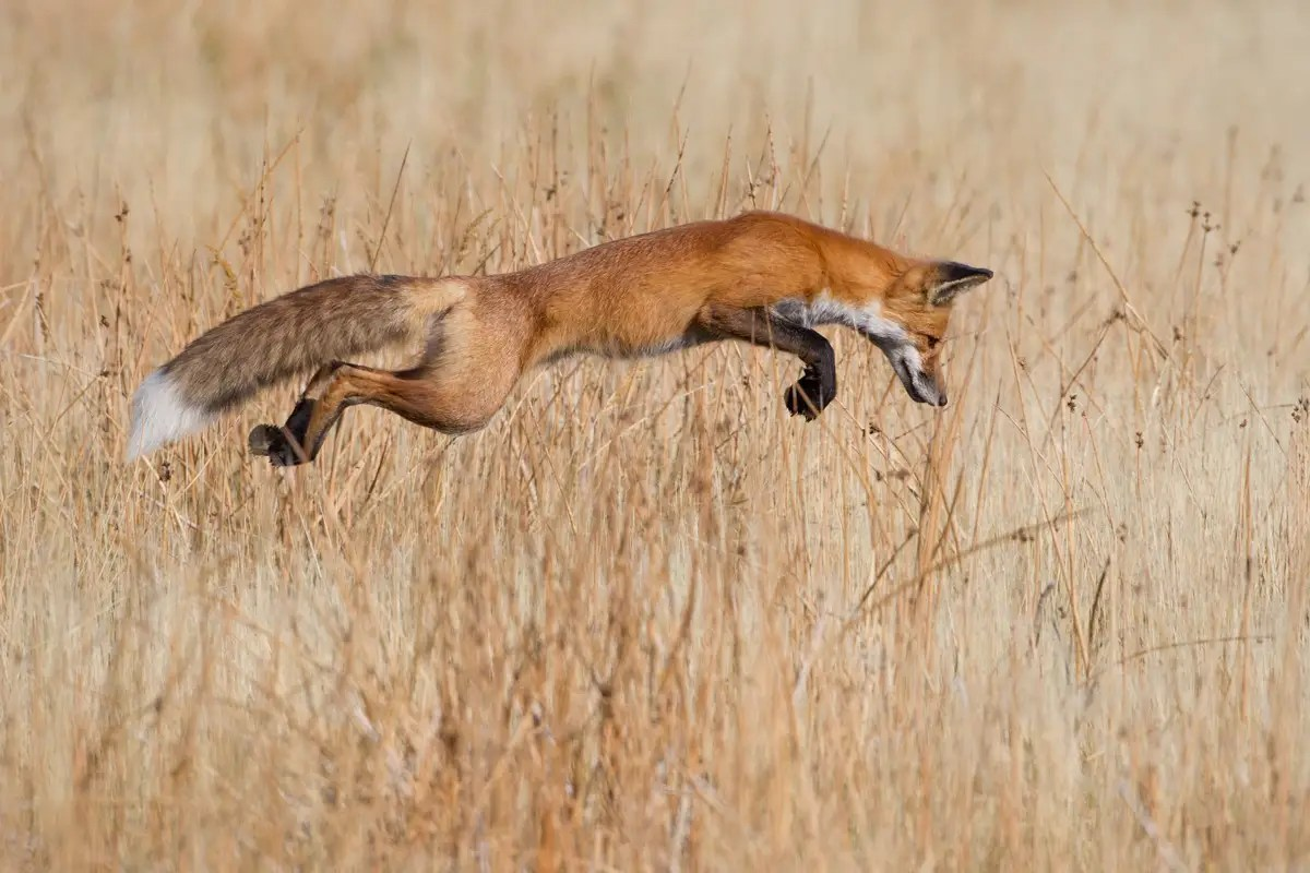 """Lucky Pounce"" — Connor Stefanison from Canada photographed this fox seconds before it was about to pounce on a mouse, in Wyoming's Yellowstone National Park."