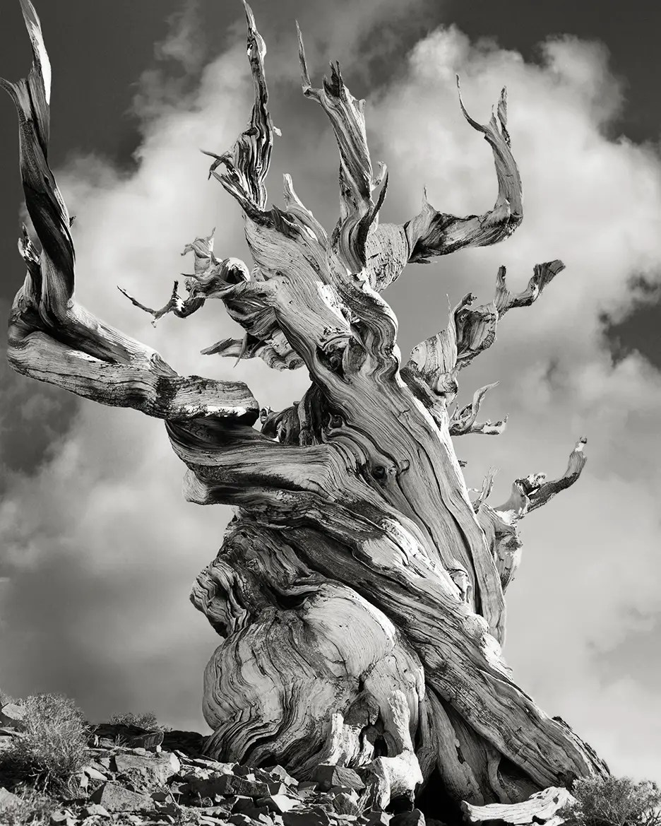 This ancient Bristlecone Pine, found in the Schulman Grove in the Inyo National Forest in California, high up in the White Mountains, is over 4,000 years old.