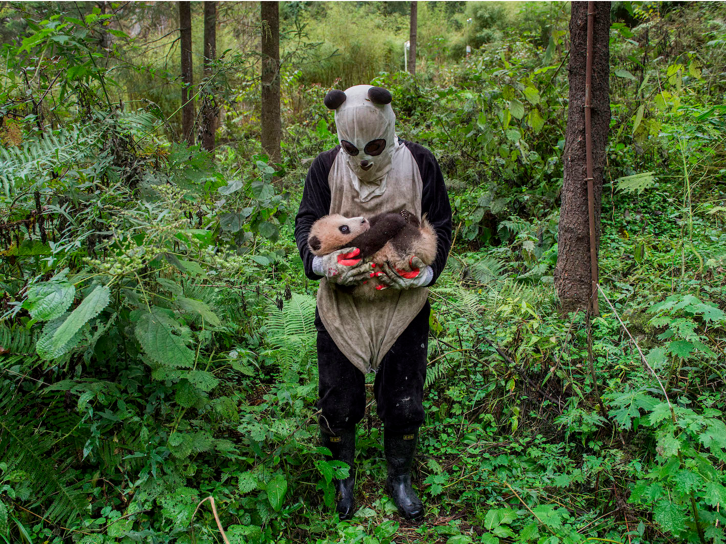 'Pandas Gone Wild' — Ami Vitale (United States of America), Professional, Natural World