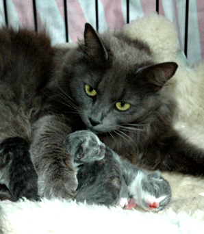 Cat dumped at SPCA while giving birth  Stuffconz
