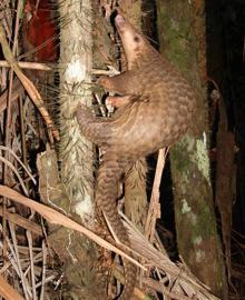 Malay Pangolin, Malis javanica