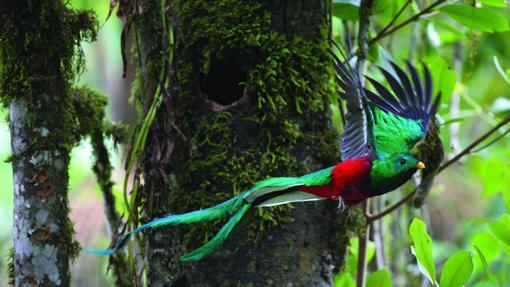 El vistoso plumaje de un quetzal