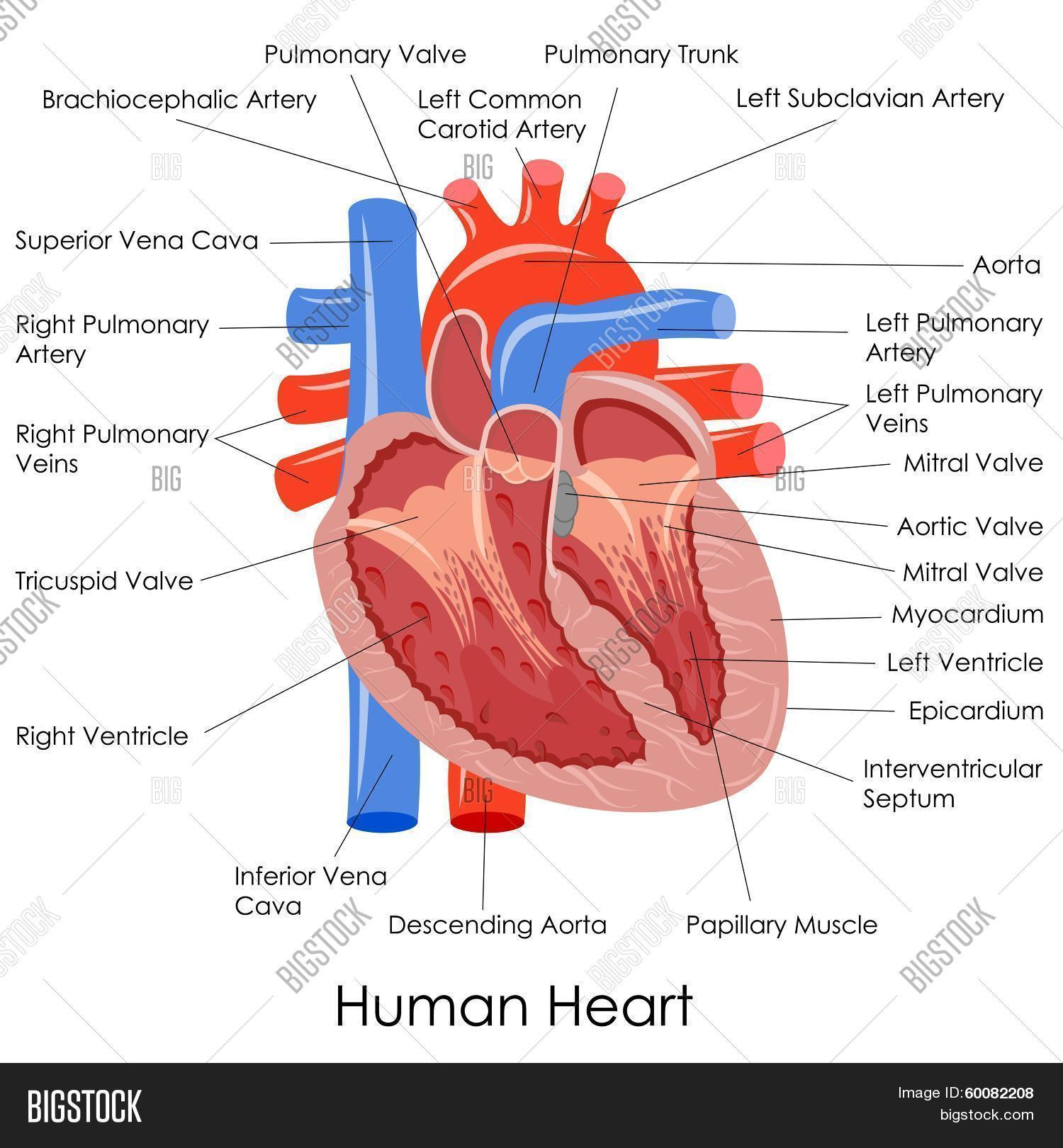 Human Heart Anatomy Vector Amp Photo Free Trial