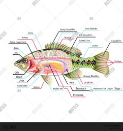 fish internal organs anatomy with labels illustration [ 1500 x 1620 Pixel ]