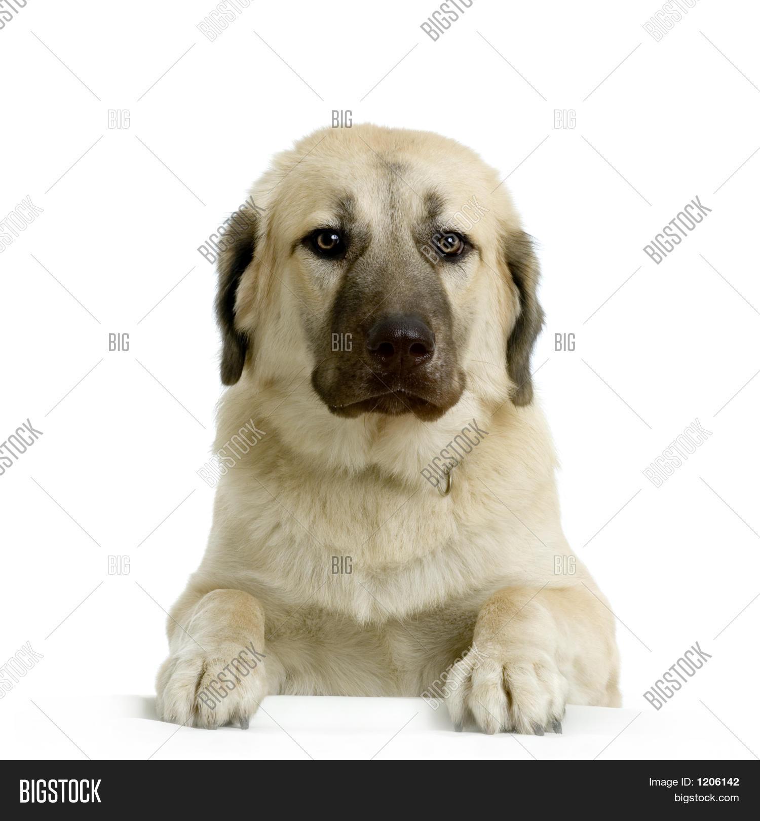 Anatolian Shepherd Dog Image & Photo (Free Trial)   Bigstock