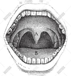 illustration of the inside of a human mouth vintage engraved illustration usual medicine dictionary [ 1167 x 1620 Pixel ]