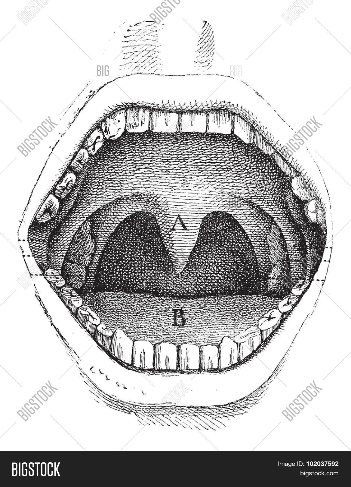 hight resolution of illustration of the inside of a human mouth vintage engraved illustration usual medicine dictionary