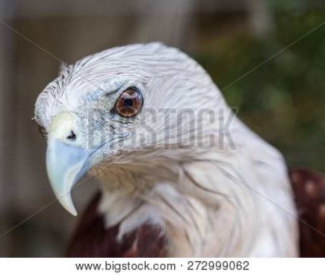 Brahminy Kites Red Backed Sea Eagle Standing On A Tree Branch Focus On