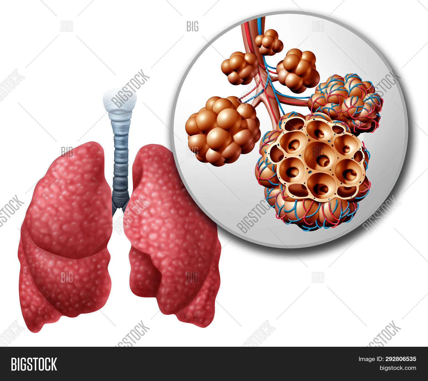 hight resolution of lung pulmonary alveoli or alveolus anatomy diagram as a medical concept of a close up of