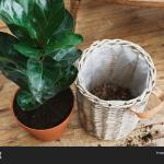 Repotting Fiddle Leaf Image Photo Free Trial Bigstock