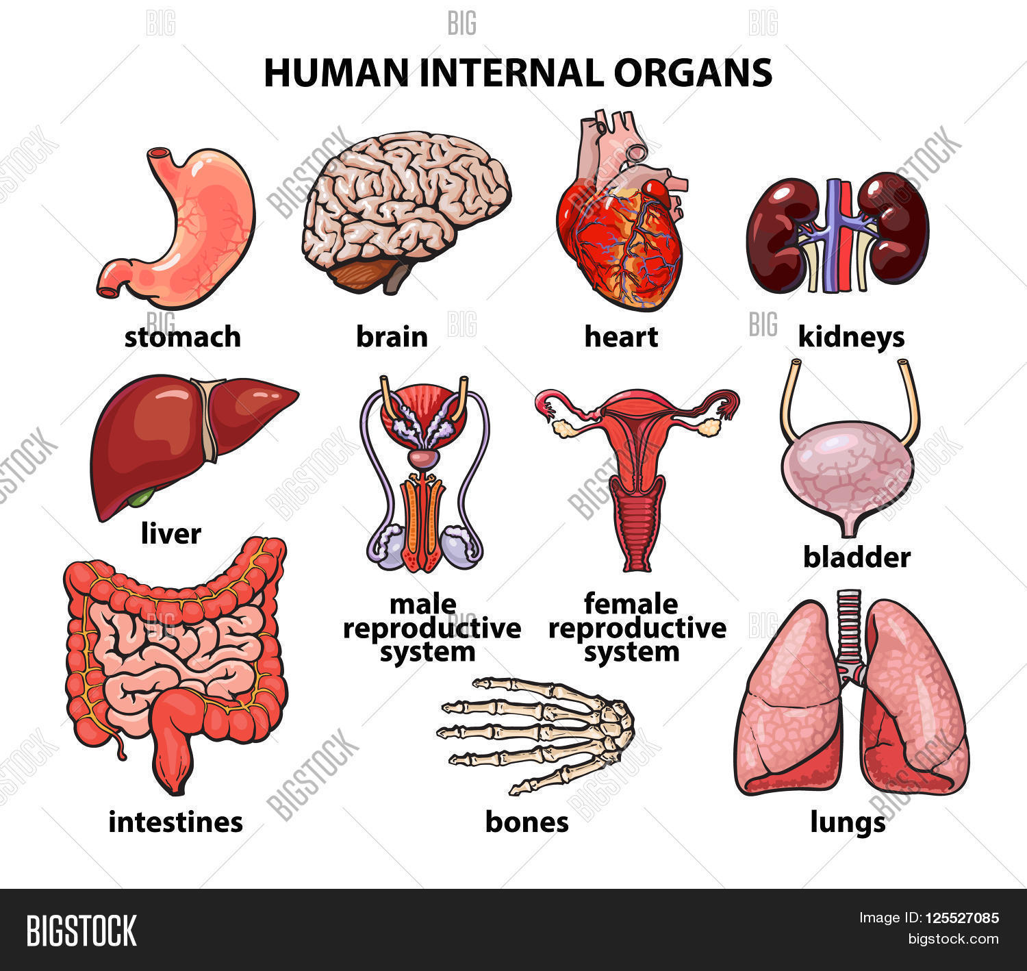 Human Organs Internal Image Amp Photo Free Trial