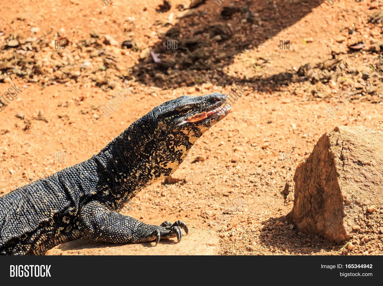 Water Monitor Lizard Image & Photo (Free Trial) | Bigstock