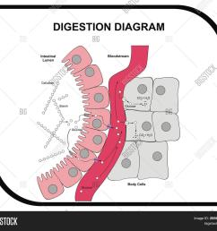 vector digestion diagram abdominal tissue medical and educational [ 1500 x 1397 Pixel ]