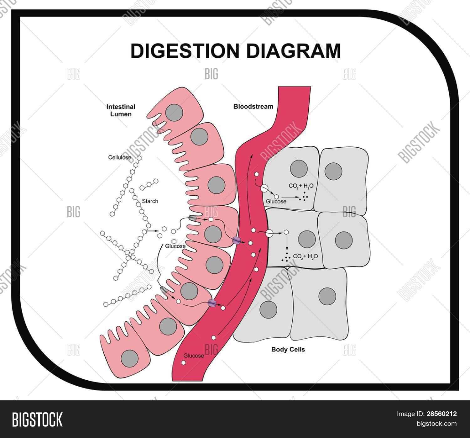 hight resolution of vector digestion diagram abdominal tissue medical and educational