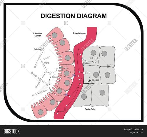small resolution of vector digestion diagram abdominal tissue medical and educational