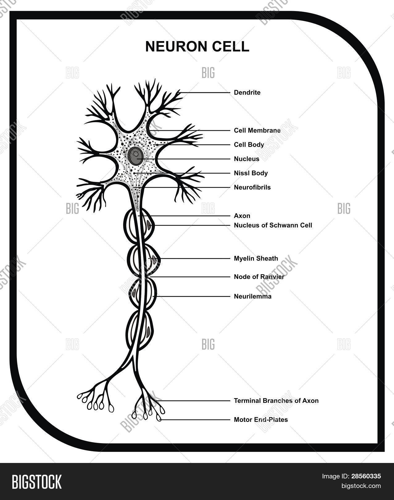 Human Neuron Cell