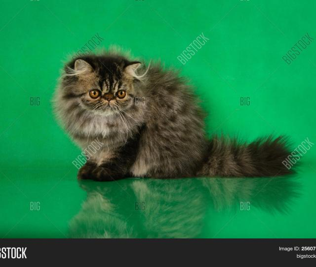 Cute Fluffy Persian Black Grey Tabby Cat On Green Studio Background