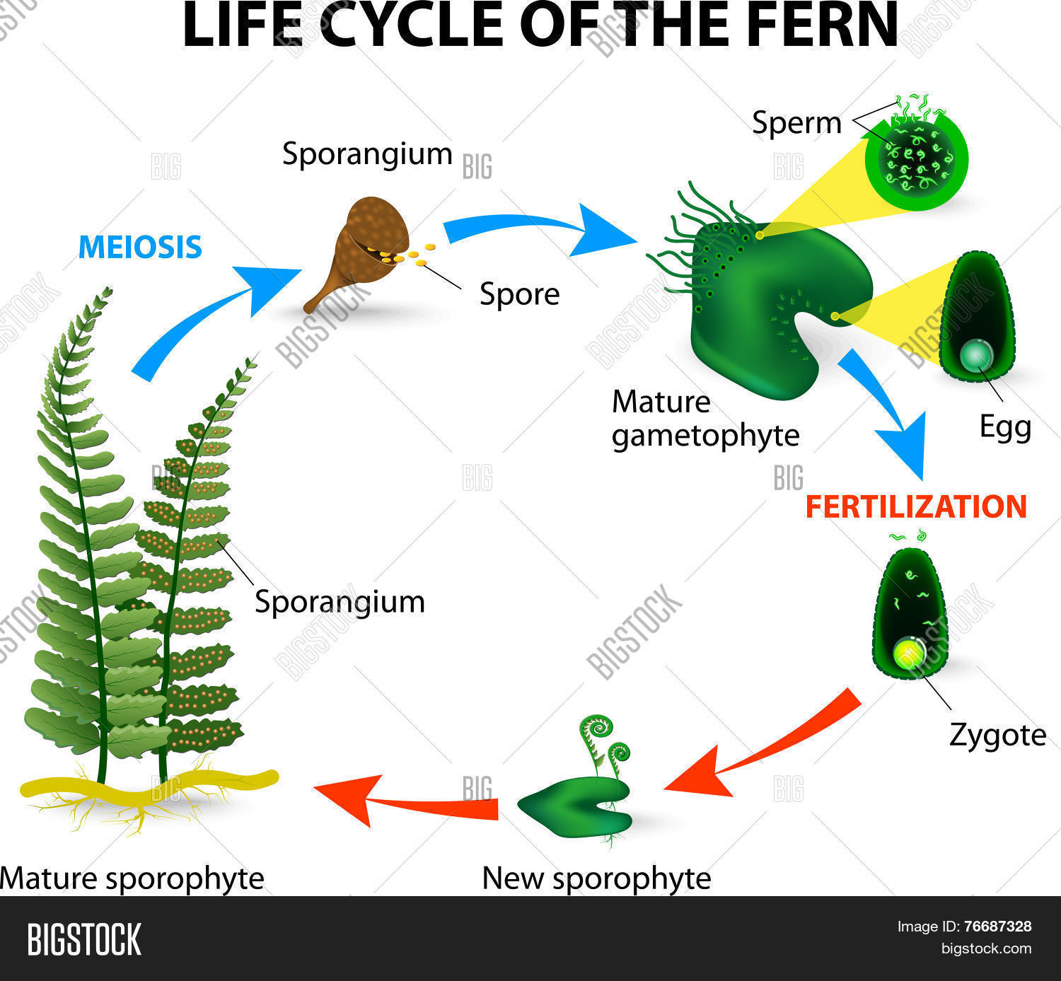 hight resolution of life cycle of ferns