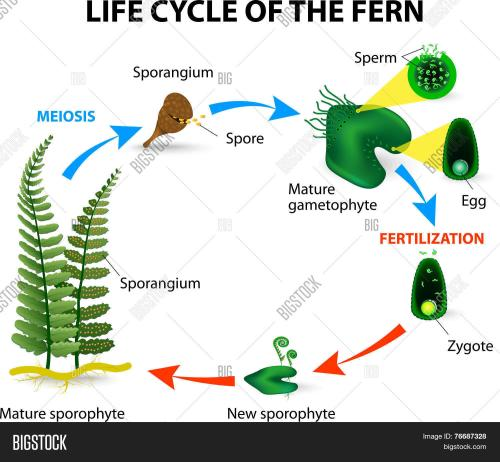 small resolution of life cycle of ferns