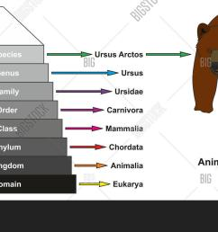 example of animal classification pyramid infographic diagram showing ursus arctos domain kingdom phylum class order family [ 1500 x 877 Pixel ]