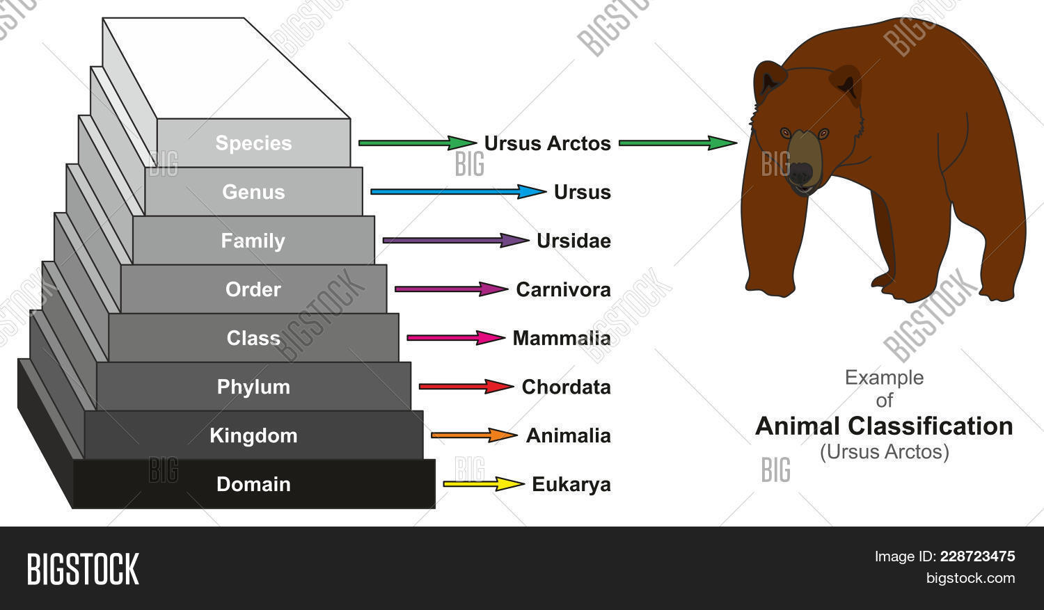hight resolution of example of animal classification pyramid infographic diagram showing ursus arctos domain kingdom phylum class order family