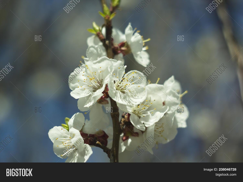 blossoming cherry image photo
