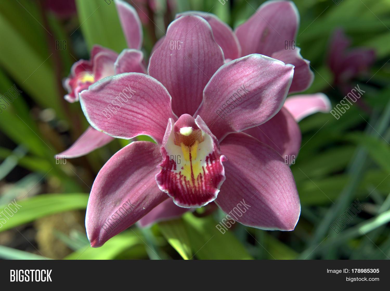 Cymbidium Orchid Image & Photo (Free Trial)   Bigstock